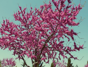 Don T Worry Your Redbud Tree Is Probably Fine